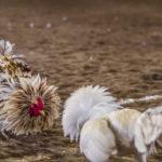 Situs permainan Sabung Ayam