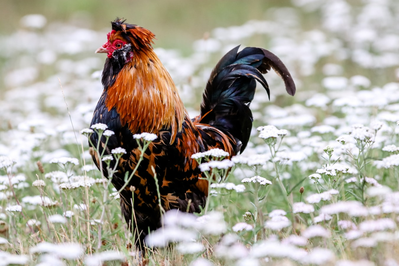 Menggunakan Pertaruhan Unik dalam Permainan Judi Sabung Ayam Online