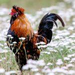 Mengerti Aturan Dalam Judi Sabung Ayam Online